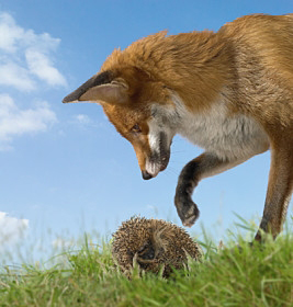 Which are YOU: A Hedgehog or a Fox?